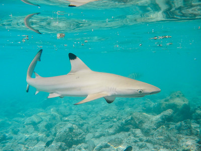 Sharks, Rays and Kin