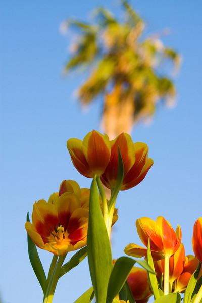 Tulips outdoor_11.jpg