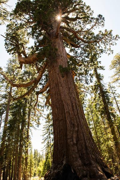 2019 San Francisco Yosemite Vacation 051 - Mariposa Grove.jpg