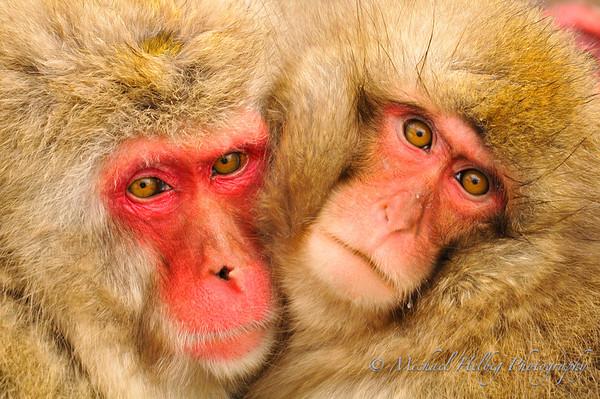 Snow Monkeys - Jigokudani (Nagano)