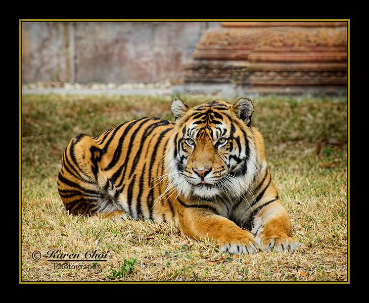 Tiger Lying Down sm.jpg