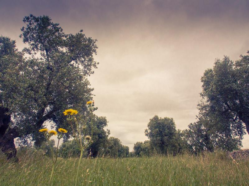 brindisi brancat olive trees 9.jpg