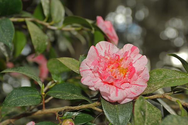 Hofwyl Camellia Program 01-26-20