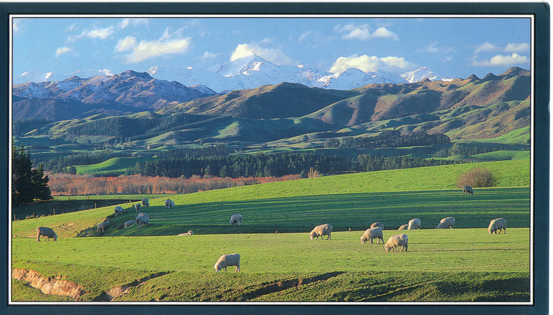 397_Sheepland. An afternoon in Canterbury with the Kaikoura Mountains in the distance.jpg