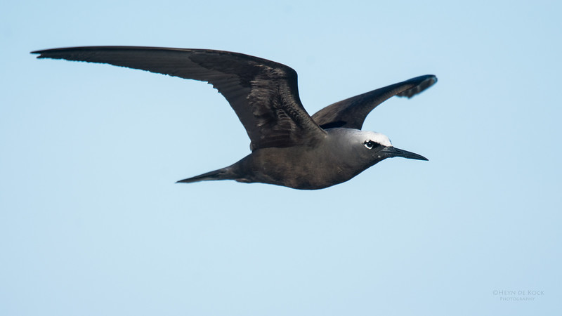 Black Noddy, Lady Elliot Island, QLD, Dec 2015-10.jpg
