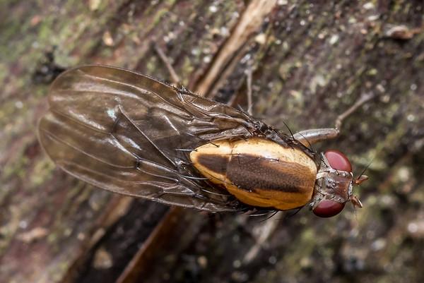 Family Heleomyzidae