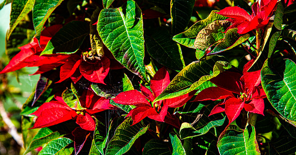 Poinsettia Tree Christmas 19