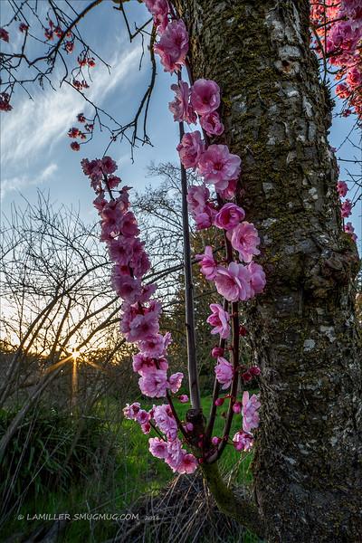 FloweringPlumSundown_2.jpg