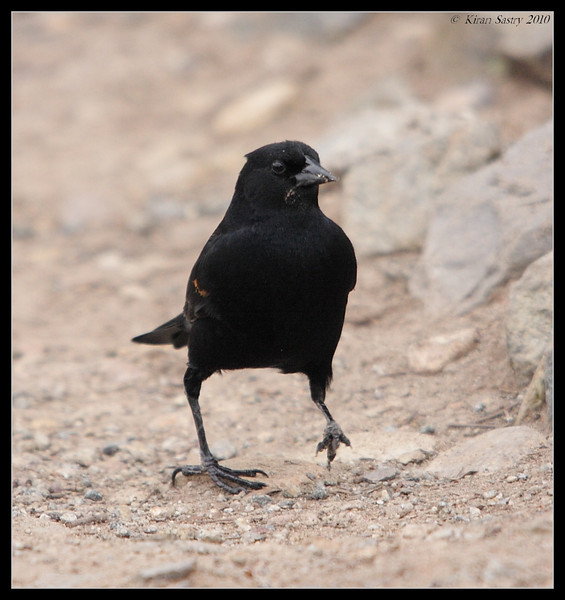 Red-winged Blackbird, Lake Murray, San Diego County, California, March 2010