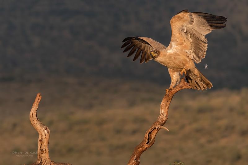 Tawny Eagle, Zimanga, South Africa, May 2017-4.jpg