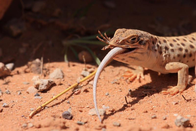 Lizard0007.JPG