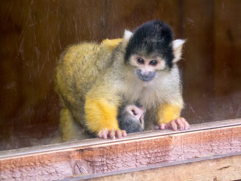 Monkeys at London Zoo