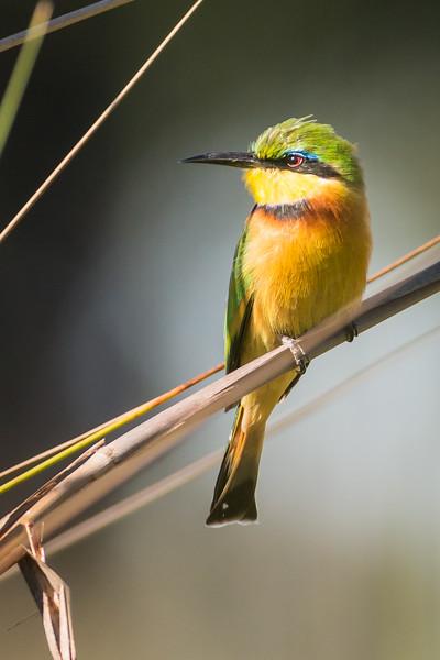 Birds of Botswana and Namibia