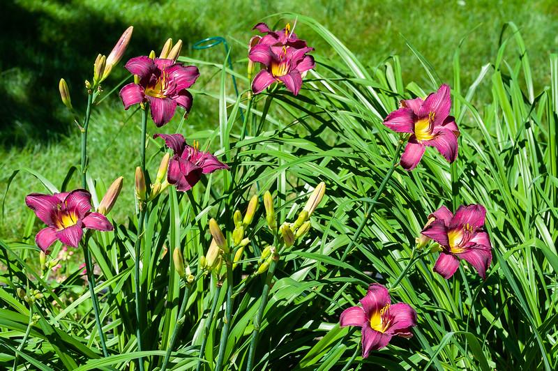 20190714 Daylilies and Flowers-6421.jpg