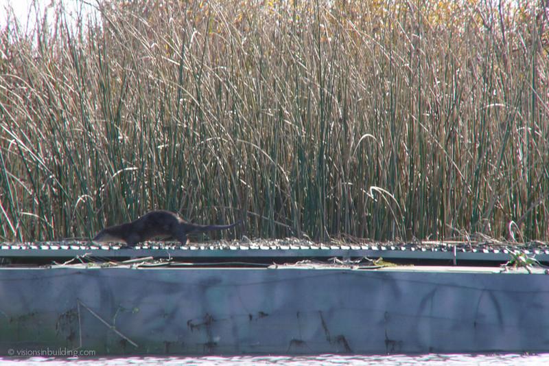 Big Fat River Otters