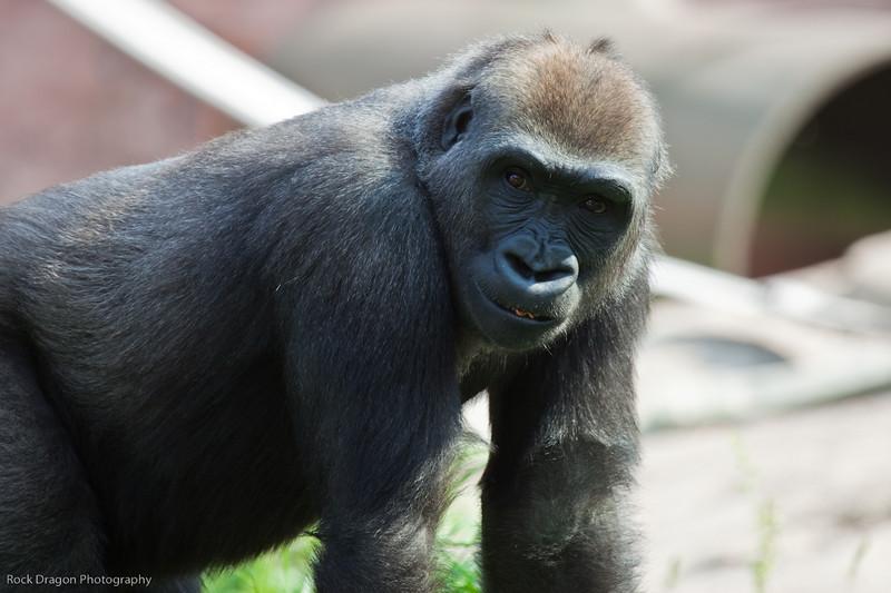 Western Lowland Gorilla, Calgary Zoo, Sept. 30