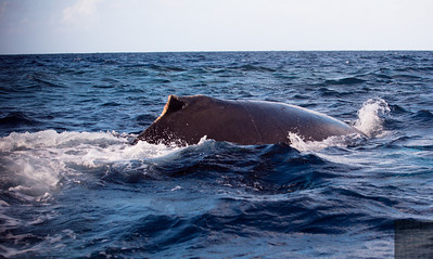 Humpback Whales of the Silver Bank 2014