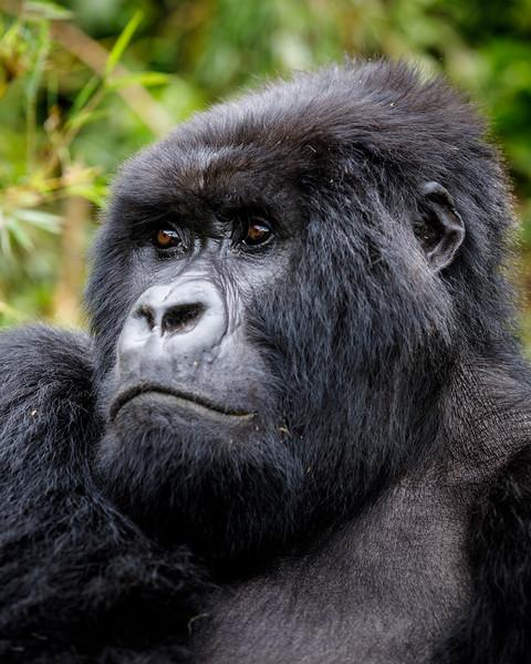 African_Apes_0218_PSokol-4405.jpg