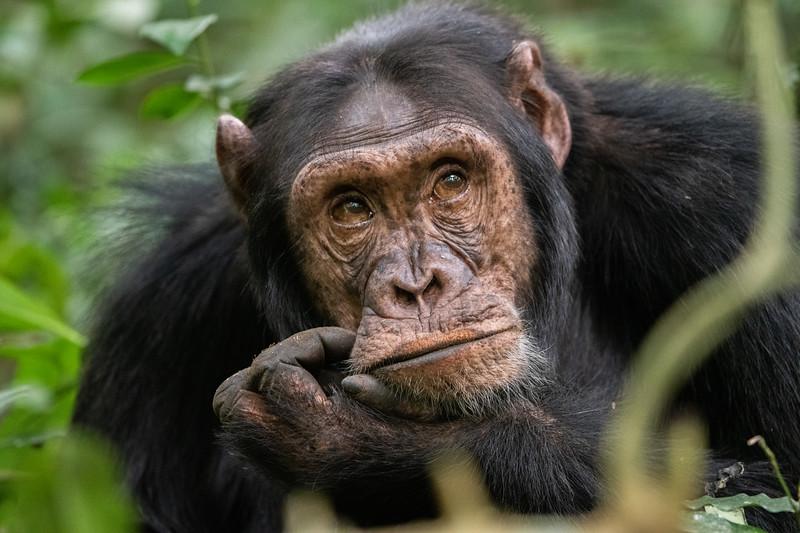 Uganda_T_Chimps-1755.jpg