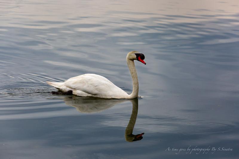 mute swan signed-43.JPG