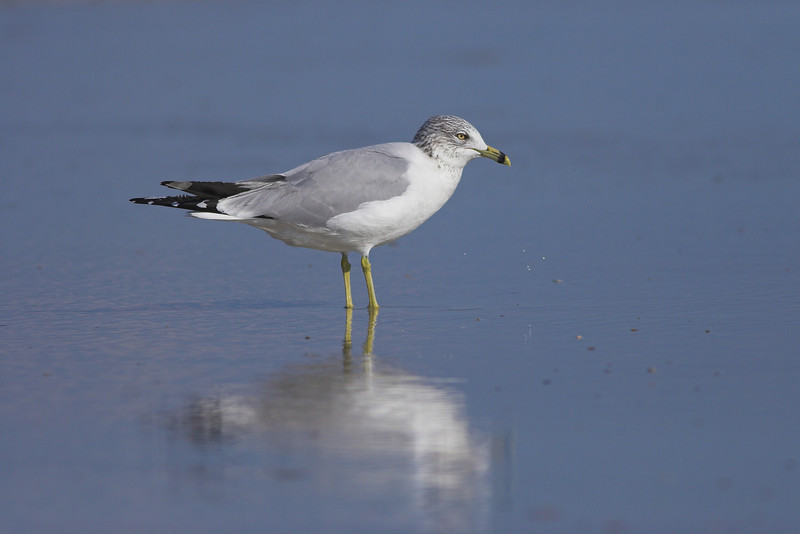 Ring-billed Gull takes a striking pose near Ponce Inlet