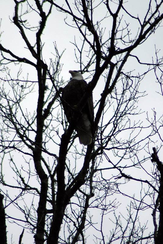 Bald Eagle in the tree.