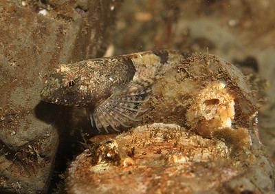 Spinynose Sculpin