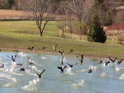 20081030 Canada Goose