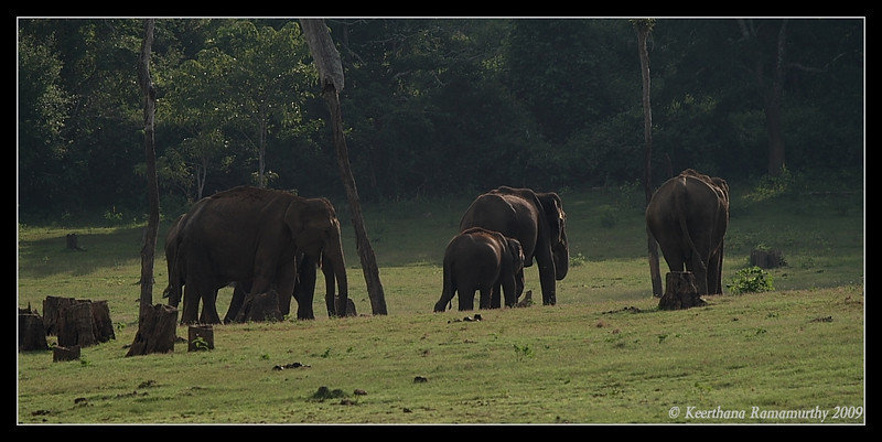 Elephant herd returning to forest after grazing by the river bank, Kabini, Mysore, Karnataka, India, June 2009