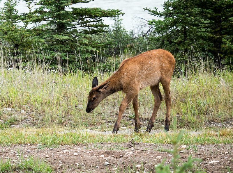 Young elk by the road on route 93 south of Jasper
