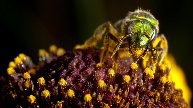 DT8087 Green Sweat Bee.jpg