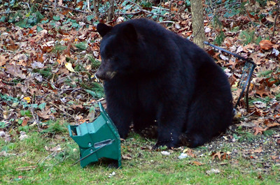 The Bear in our backyard Nov 2012