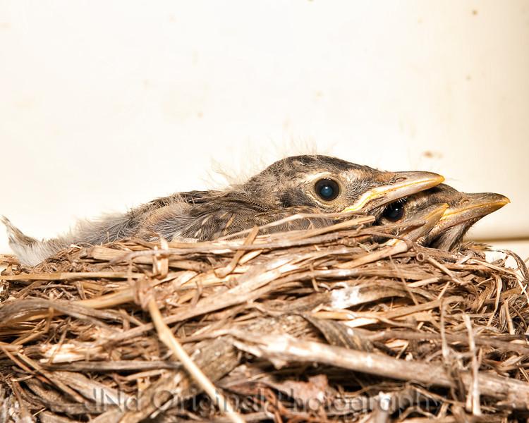 082 Baby Robins Spring 2013.jpg