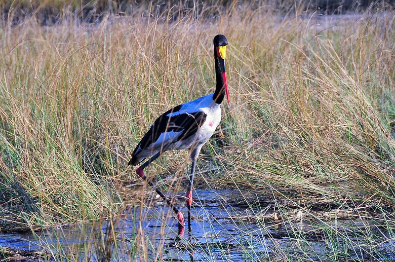 EPV0707 Saddle-billed Stork in Okavanga Delta, Botswana