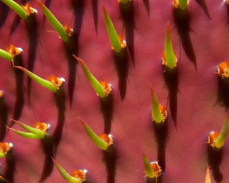 Opuntia nopales.jpg