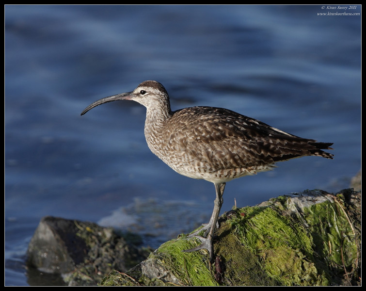 Whimbrel, Robb Field, San Diego River, San Diego County, California, August 2011