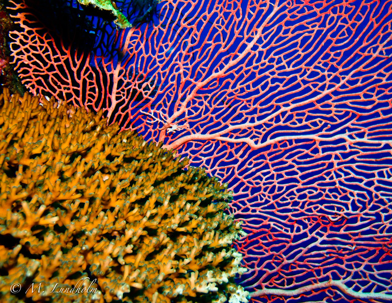 Sea Fan and Coral
