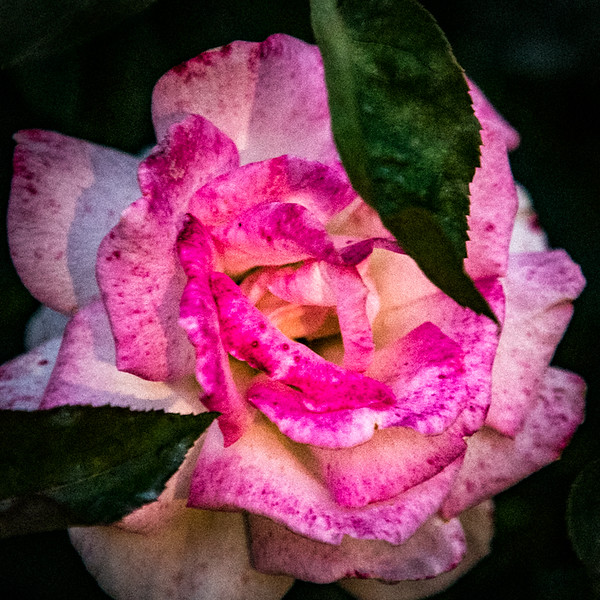 July 13 - Two leaves and a rose.jpg