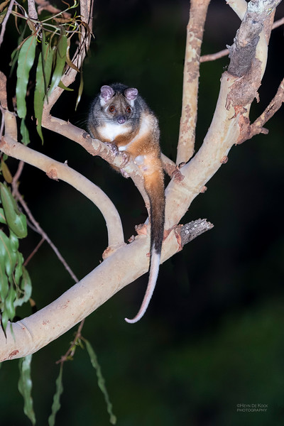 Common Ringtail Possum, Hidden Valley, QLD, Jan 2020-2.jpg