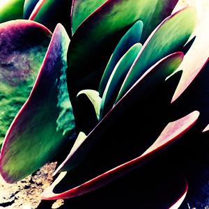 Darkly Succulent