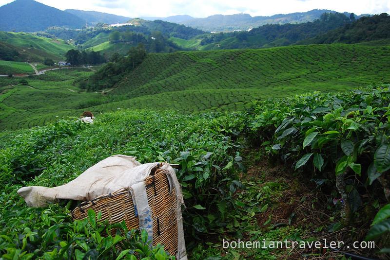Cameron Highlands Malaysia Tea fields [Boh] (7).jpg