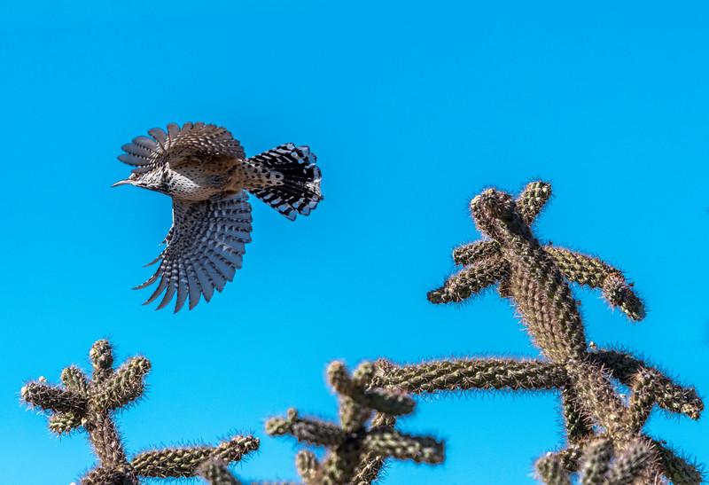 Cactus Wren Flying #2