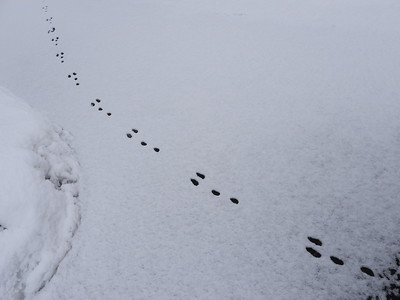 20200127 Eastern Cottontail Tracks