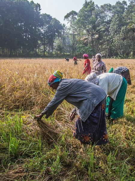 kerala rice field 4.jpg