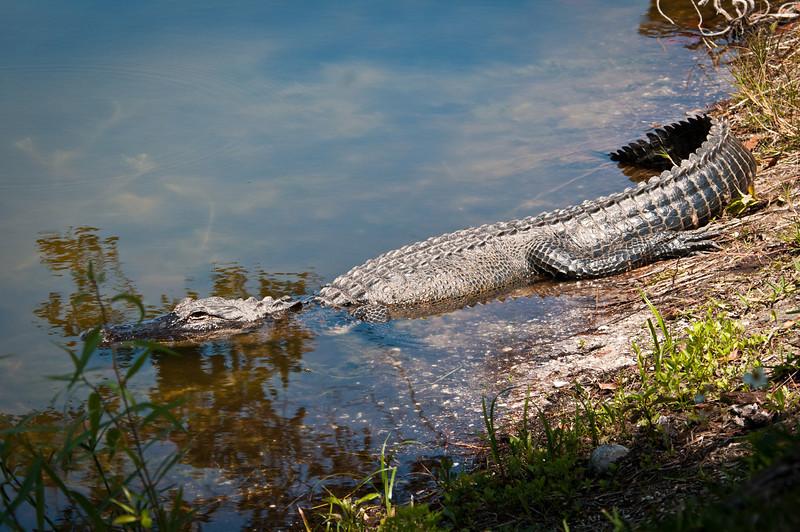 10 ft. 'gator at Hurricane St. pond.