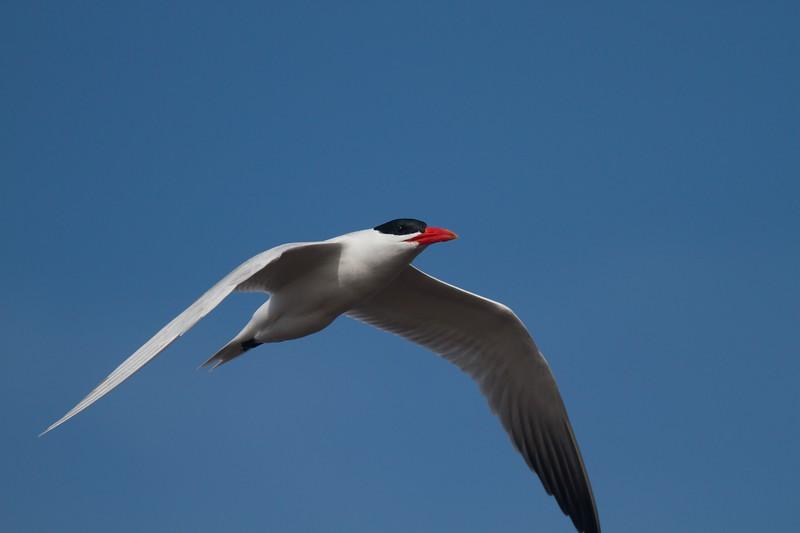 Caspian Tern Wisconsin Point Superior WI IMG_1510.jpg