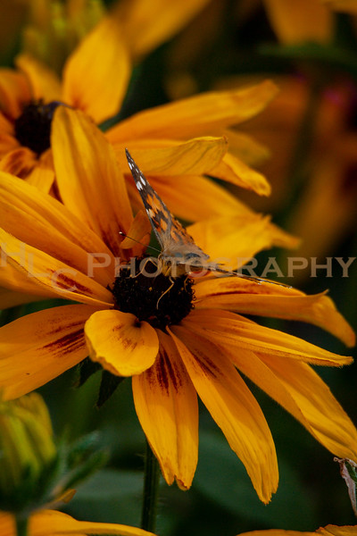 09/21/19 Painted Lady Butterfly on Black Eyed Susans