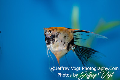05/25/2018 Angel Fish Photos, Tropical Fish Aquariums Photos, Gaithersburg Maryland, Photography by Jeffrey Vogt
