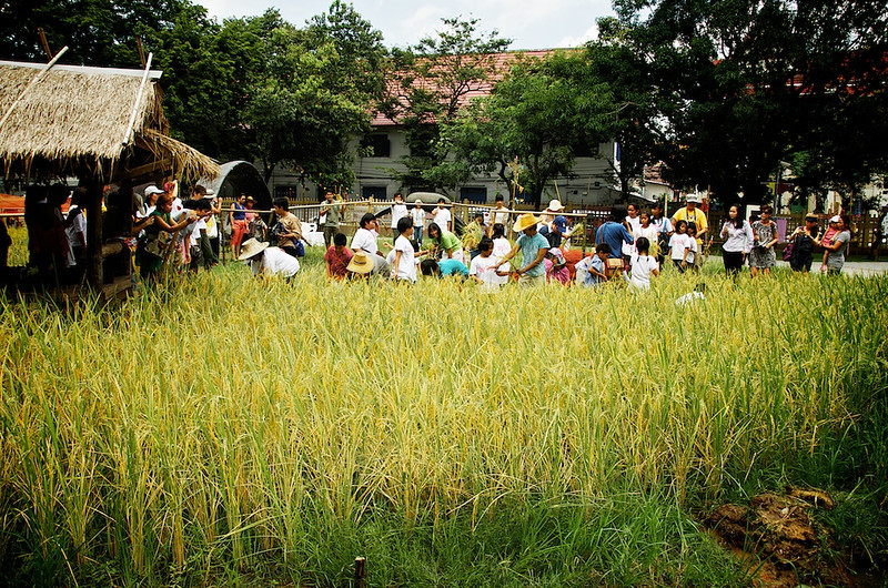 A chance for City dwellers to get to harvest some rice.jpg