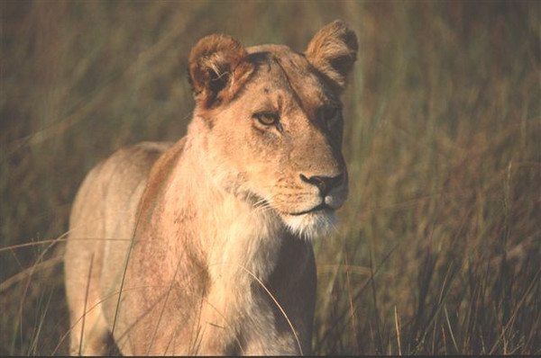 Female Lion 2